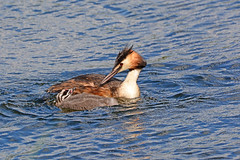 Great Crested grebe and chick. (E P Rogers) Tags: grebe young podicepscristatus bird water adult