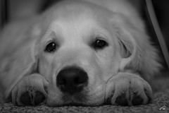 MAGIC.. our Golden Retriever (glank27) Tags: goldenretriever puppy dog k9 canine karl glanville wildlife canon eos 70d ef 50mm f18ii rest nap relaxation relaxing tranquillity bw monochrome pet