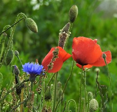 Wildflowers - Cornflower and Poppies at Blyth (Gilli8888) Tags: nature nikon p900 coolpix tyneandwear whitleybay coast coastal flowers flora wildflowers poppies cornflower explore