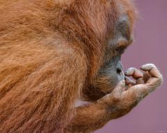 Watching Baseball (Aliparis) Tags: naturallight monkey outdoors zoo neworleansla louisiana nikon fingernail
