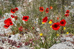 Rocca Calascio-136 (marcopanfili) Tags: roccacalascio castello italia italy abruzzo fiori papaveri rosso red