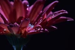 Drops (cyndoe) Tags: macromondays dripsdropsandsplashes daisy gerbera
