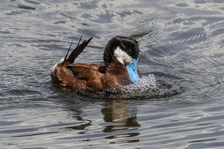 Ruddy Duck / Canard roux