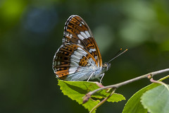 White Admiral (Limenitis camilla (icemelter4) Tags: white admiral limenitis camilla woodland