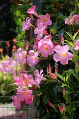Pink Mandevillas (ChristianRock) Tags: pentax k10d k10 smcm m 50mm 50 f4 macro ccd flower nature garden summer