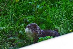 New Forest Wildlife Park (Jainbow) Tags: otter europeanotter newforestwildlifepark jainbow