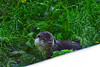 New Forest Wildlife Park (Jainbow) Tags: otter europeanotter newforestwildlifepark jainbow