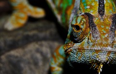 Veiled chameleon (Chameleo calyptratus) _DSC0321 (ikerekes81) Tags: veiledchameleonchameleocalyptratus veiledchameleon chameleocalyptratus veiled chameleon chameleo calyptratus reptile reptilia animalia animal clydepeelingsreptiland allenwoodpa allenwood pa nikond3200 nikon d3200 18105mm sb700 istvankerekes istvan kerekes ik closeup macro extremecloseup extrememacro