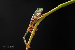 Super Tiger Legged Waxy Monkey Leaf Frog D50_8044.jpg