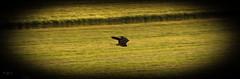 170626-19382118 (canonwilli) Tags: falke falkon greifvogel vogel motion