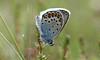 8870 Plebejus argus (jon. moore) Tags: preesheath shropshire silverstuddedblue plebejusargus lepidoptera