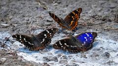 Drei Kleine Schillerfalter (Apatura ilia) und (Apatura ilia f. clytie) (AchimOWL) Tags: schillerfalter kleinerschillerfalter schmetterling insekt insect tier tiere animal makro macro outdoor dmcgx80 gx80 natur nature lumix panasonic tagfalter postfocus ngc macrodreams schärfentiefe wildlife stack textur edelfalter