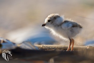 Piping Plovers of Sandy Hook [ENDANGERED] | 2017 - 6
