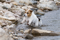 Sara. Hardening my body in a cold mountain lake- before we drive home in a hopefully warm car :). 26/52 (Tõnno Paju) Tags: 52weeksfordogs animal dog pet jack russel terrier swimming lake water stones fun beach summer outdoors