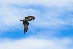 Schotland 2017-141 (Switch62) Tags: scotland 2017 aberfoyle osprey visarend lake menteith