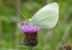 Small White butterfly1 (Steeple Ducks) Tags: butterfly butterflies wiltshire upton scudamore a350 bank embankment verge road
