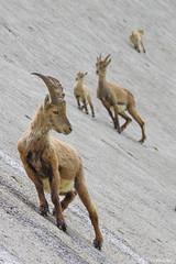On the dam (Michele Remonti) Tags: capraibex ibex stambecco barbellino diga dam lombardy italia italy lombardia valleseriana