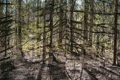 Multiple Nature 352 (pni) Tags: tree trunk spruce multiexposure multipleexposure tripleexposure keskuspuisto centralparken centralpark helsinki helsingfors finland suomi pekkanikrus skrubu pni