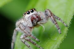 Jumping Spider & Prey (Doundounba) Tags: pentax k3 pentaxdfa100mmf28wrmacro raynox dcr250 macro spider araignée salticidae saltique jumpingspider montréal québec parcnaturedelîledelavisitation parcnature topf25