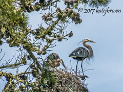 Courting Herons 2 (katejbrown photography) Tags: bird birds goldengatepark katejbrown nesting sanfrancisco stowlake greatblueheron herons courting katebrown