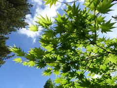 Maple leaves (Kniphofia) Tags: maple leaves summer rhsharlowcarr acer