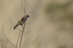 _O6A4610 (qpable) Tags: cardueliscarduelis chardonneretélégant europeangoldfinch fringillidés passériformes bird oiseau
