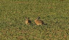 Hare,hazen (jopieborst) Tags: hare hazen nature natuur biesbosch canon70d canon400mm56 wildlife