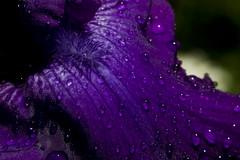 Splash of the Titans (brucetopher) Tags: macromondays dripsdropsandsplashes drips drops splashes splash drip drop macro monday purple flower petal raindrop rain dew droplets water wet nature natural light reflect refract beard bearded longsgarden boulder colorado iris titansglory titan titans royal