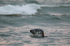 Sunlit Grey Seal (ChrisCowiePhotos) Tags: grey seal sunset waves evening scotland moray firth culbin sands rspb