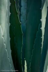 _DSC5971-Edit (dlange56) Tags: aloe florida keywest keywestgardenclub plant westmartellotower xanthorrhoeacea