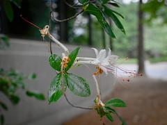 Wild White Azalea (ChristianRock) Tags: pentax k10d k10 sigma dc hsm art 30mm 30 f14 14 ccd garden nature summer