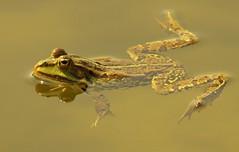mistrzyni w pływaniu żabką // swimming with a frog style (stempel*) Tags: polska poland polen polonia gambezia pentax k30 sigma bigma water woda swimming swimm żaba frog