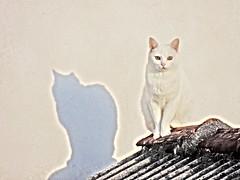 olhos do gato (Márcio100) Tags: piraquara paraná brasil olhos do gato felino marcio100 márcio alves natureza animal branco