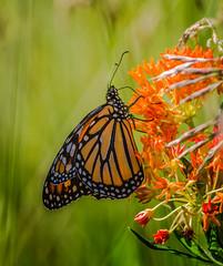 Orange Lover (Portraying Life, LLC) Tags: dbg6 da3004 hd14tc k1 michigan pentax unitedstates butterfly closecrop handheld nativelighting ricoh meadow