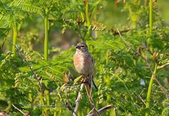 Linnet (Silke_Einschuetz) Tags: wales ceredigion coast path clarach bay spring birds linnet borth