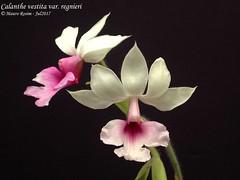 Calanthe vestita var. regnieri (Mauro Rosim) Tags: orchid orquídea flower flor terrestre terrestrial