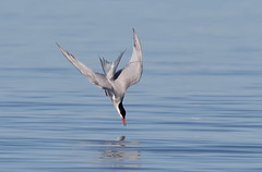 Common Tern diving. (mandokid1) Tags: canon 1dx canon500f4 ef400mmdo birds duck waterfowl arizona