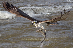 IMG_2591 Osprey with fish (cmsheehyjr) Tags: cmsheehy colemansheehy nature wildlife bird osprey hawk fishhawk jamesriver richmond virginia floodwall pandionhaliaetus
