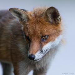 Fox 1 (markwright12002) Tags: 2017 dorset fox july