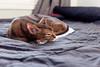 Luke (Katherine Ridgley) Tags: cat cats abyssinian abyssiniancat maleabyssinian malecat ruddyabyssinian ruddy usualabyssinian usual purebreed purebred purebredcat domesticcat felissilvestriscatus feliscatus felis felidae carnivore carnivora animal animalia mammal mammalia pet cute