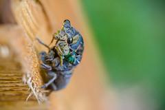 Cicada Emerging-8975 (taylorsloan) Tags: cicada emerging shell metamorph summer change bug insect