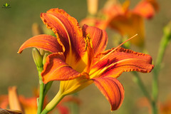 Taglilie (Argentarius85) Tags: nikond5300 sigma105mmf28exdgoshsm taglilien hemerocallis blume flower blossom blüte petal blütenblatt macro makro farbe colours orange depthoffield dof bokeh