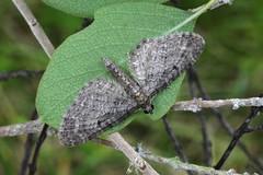 Grey Pug. (Eupithecia subfuscata) (Garry Barlow) Tags: greypug eupitheciasubfuscata greypugmoth pugmoth