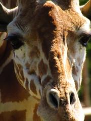 Girafe (Iliana Charneau) Tags: parc pessac girafe faune sauvage nature animaux savane afrique