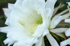 white cactus 1 (MattFidelibus) Tags: cactus white stamens stigma petals sepals botanical fresh flowers flower macro succulent succulents gardening cereus
