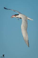 A Royal Feast for the Tern (Osprey-Ian) Tags: texas aransasnwr royaltern