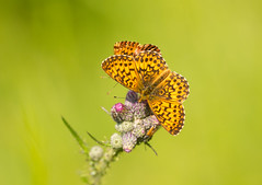 Small Pearl-bordered Fritillary (Boloria selene) (piazzi1969) Tags: explore elements fritillary perlmutterfalter fritillaries butterflies schmetterlinge nature bavaria wank germany europe fauna insects canon eos 7d markii ef100400mm boloriaselene smallpearlborderedfritillary braunfleckigerperlmutterfalter