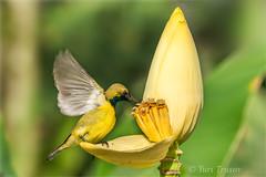 Olive-backed sunbird (Yuris.photos) Tags: wildsingapore singapore olivebackedsunbird cinnyrisjugularis honeyeater tropicalbirds wildlife