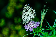 "Mediterranean Marbled White • <a style=""font-size:0.8em;"" href=""http://www.flickr.com/photos/59600968@N02/35125240772/"" target=""_blank"">View on Flickr</a>"