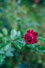 Flowers in the rain (norsez {Thx for 13 million views!}) Tags: 40mm apsc cmos fujifilm raw xpro1 xtrans classic fastlens flower fuji fujixpro1 fujifilmxpro1 lens manualfocus nokton voightlander xp1